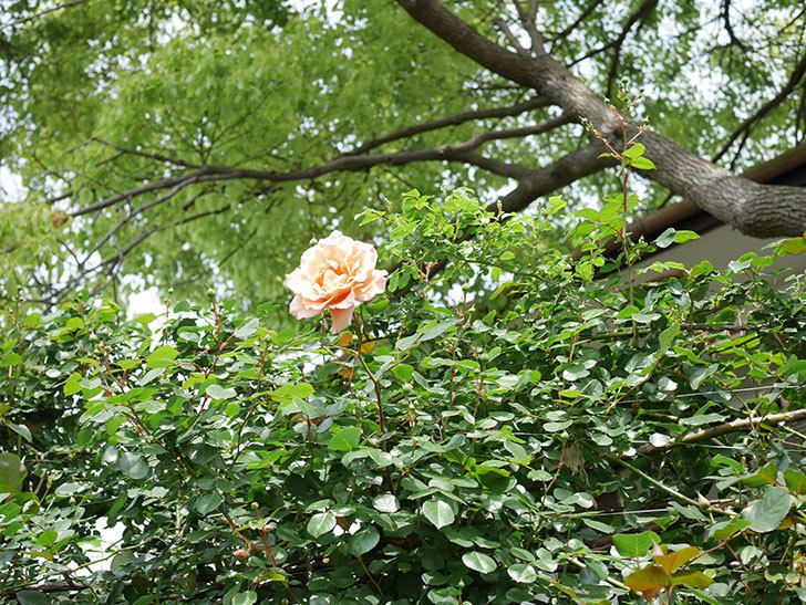 つるジュリア(Julia Climbing)の花が増えてきた。ツルバラ。2021年-044.jpg