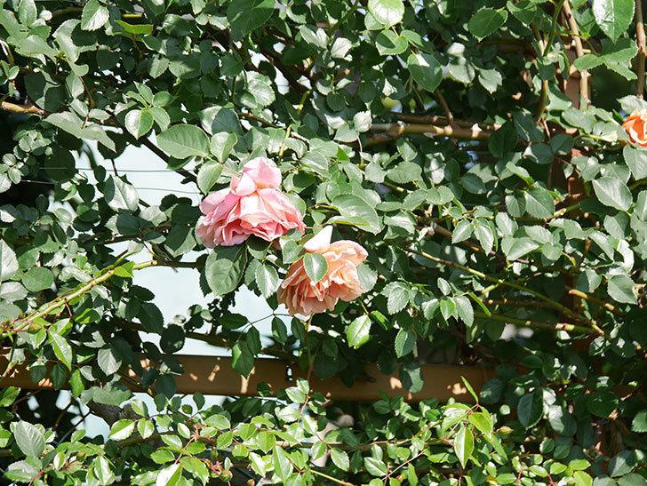 つるジュリア(Julia Climbing)の花が増えてきた。ツルバラ。2021年-045.jpg