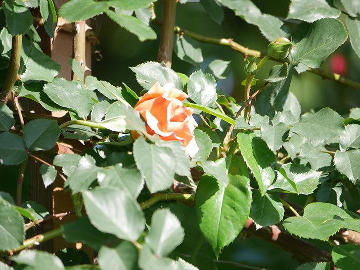 つるジュリア(Julia Climbing)の花が増えてきた。ツルバラ。2021年-046.jpg