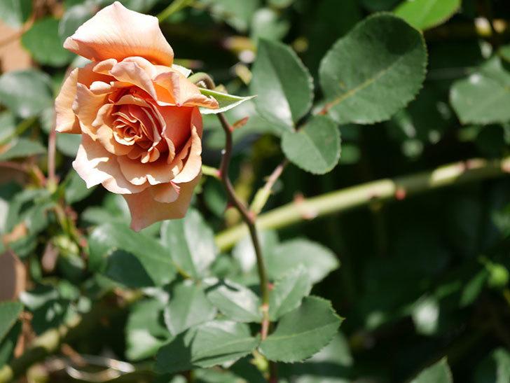 つるジュリア(Julia Climbing)の花が増えてきた。ツルバラ。2021年-047.jpg