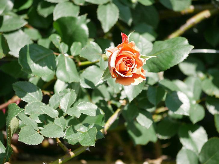 つるジュリア(Julia Climbing)の花が増えてきた。ツルバラ。2021年-048.jpg