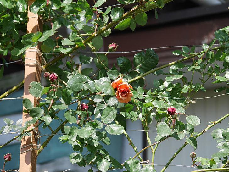 つるジュリア(Julia Climbing)の花が増えてきた。ツルバラ。2021年-049.jpg