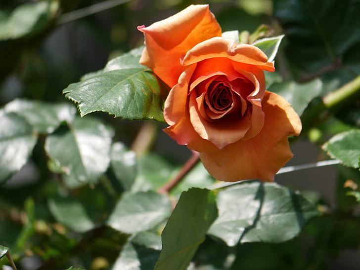 つるジュリア(Julia Climbing)の花が増えてきた。ツルバラ。2021年-051.jpg