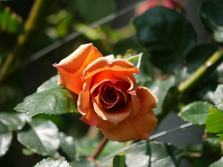 つるジュリア(Julia Climbing)の花が増えてきた。ツルバラ。2021年-052.jpg