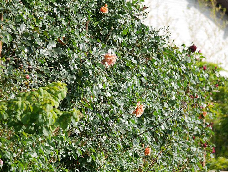 つるジュリア(Julia Climbing)の花が増えてきた。ツルバラ。2021年-053.jpg