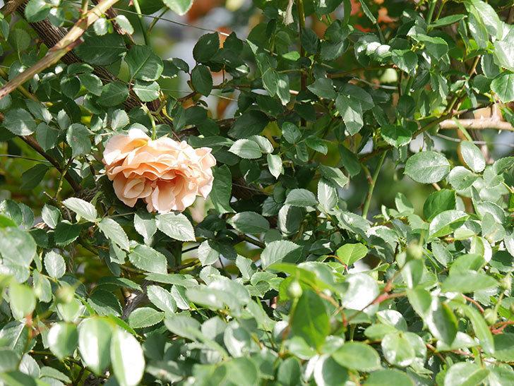 つるジュリア(Julia Climbing)の花が増えてきた。ツルバラ。2021年-054.jpg