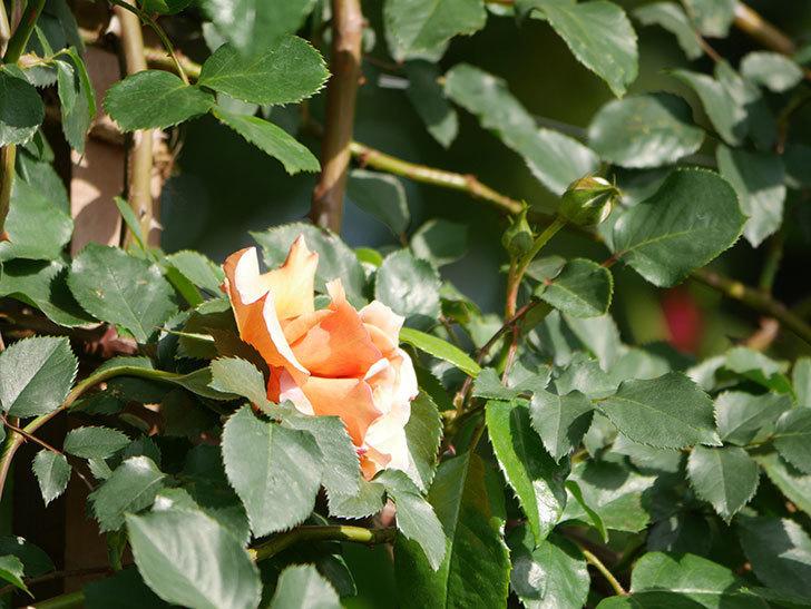 つるジュリア(Julia Climbing)の花が増えてきた。ツルバラ。2021年-055.jpg