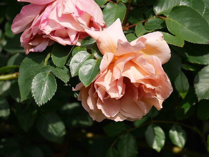 つるジュリア(Julia Climbing)の花が増えてきた。ツルバラ。2021年-056.jpg