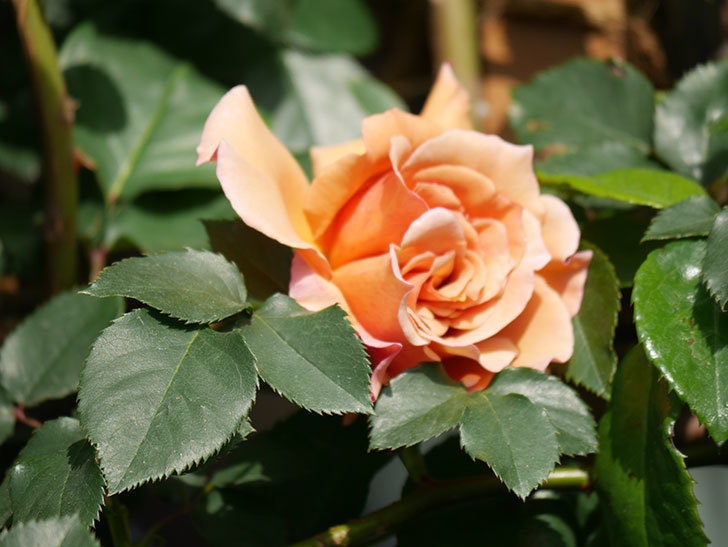 つるジュリア(Julia Climbing)の花が増えてきた。ツルバラ。2021年-057.jpg