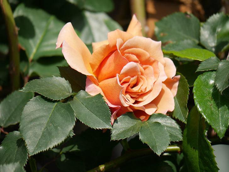 つるジュリア(Julia Climbing)の花が増えてきた。ツルバラ。2021年-058.jpg