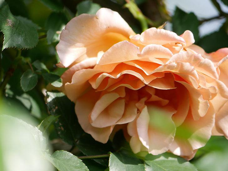つるジュリア(Julia Climbing)の花が増えてきた。ツルバラ。2021年-059.jpg