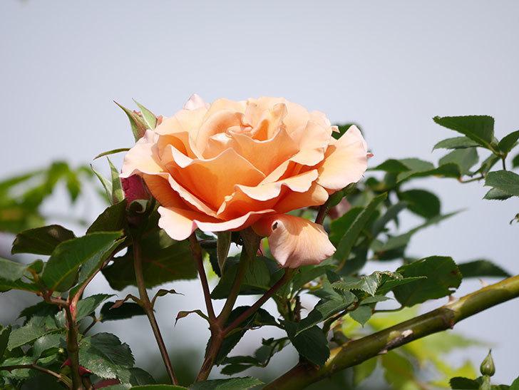 つるジュリア(Julia Climbing)の花が増えてきた。ツルバラ。2021年-061.jpg
