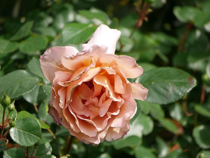 つるジュリア(Julia Climbing)の花が増えてきた。ツルバラ。2021年-062.jpg
