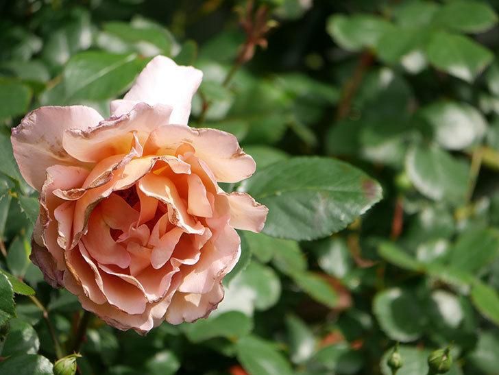 つるジュリア(Julia Climbing)の花が増えてきた。ツルバラ。2021年-063.jpg