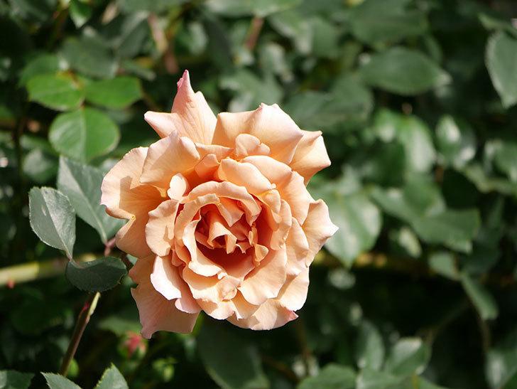 つるジュリア(Julia Climbing)の花が増えてきた。ツルバラ。2021年-064.jpg
