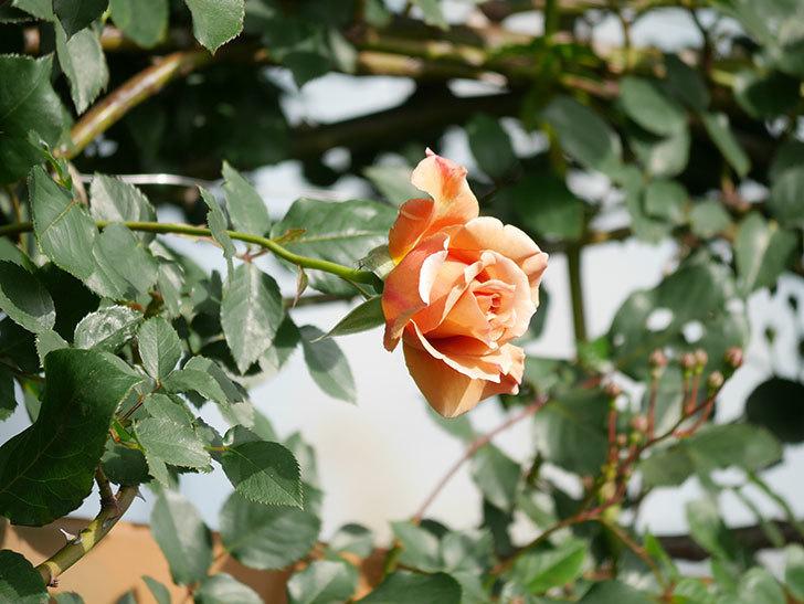 つるジュリア(Julia Climbing)の花が増えてきた。ツルバラ。2021年-065.jpg