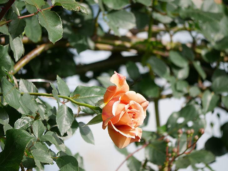 つるジュリア(Julia Climbing)の花が増えてきた。ツルバラ。2021年-066.jpg