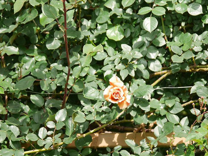 つるジュリア(Julia Climbing)の花が増えてきた。ツルバラ。2021年-067.jpg