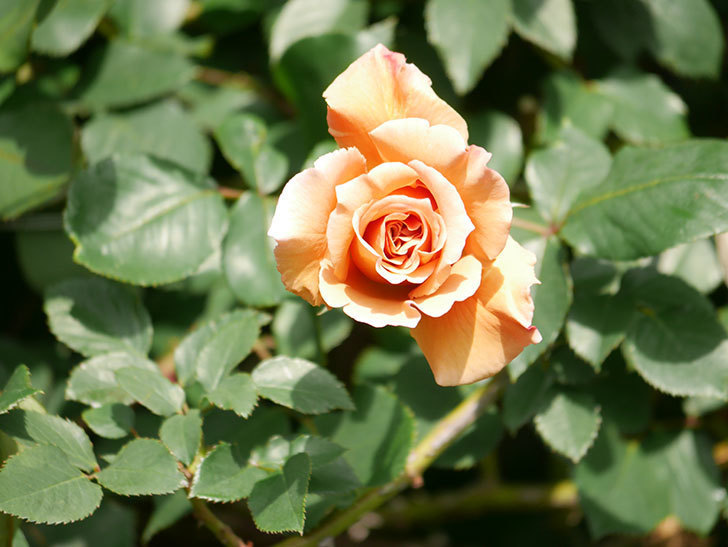 つるジュリア(Julia Climbing)の花が増えてきた。ツルバラ。2021年-068.jpg