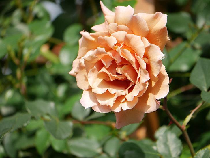 つるジュリア(Julia Climbing)の花が増えてきた。ツルバラ。2021年-069.jpg