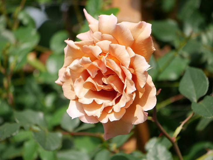 つるジュリア(Julia Climbing)の花が増えてきた。ツルバラ。2021年-070.jpg