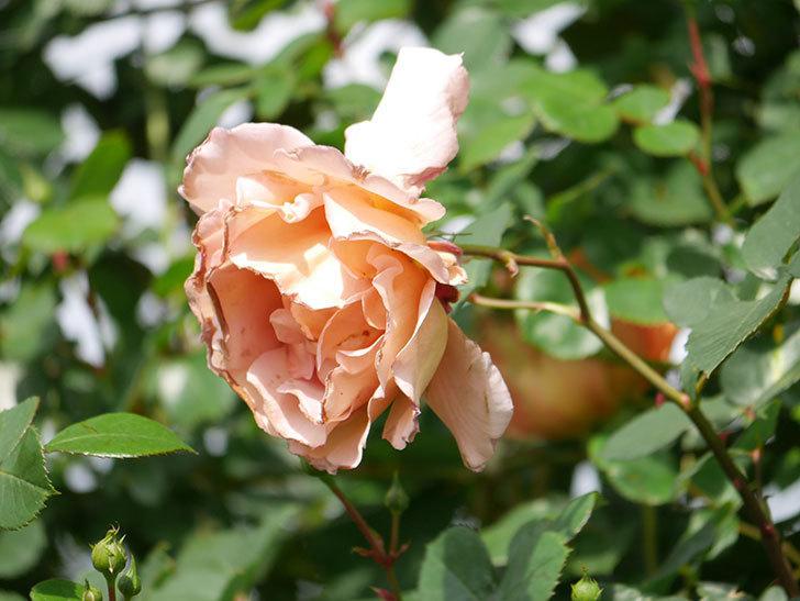 つるジュリア(Julia Climbing)の花が増えてきた。ツルバラ。2021年-071.jpg
