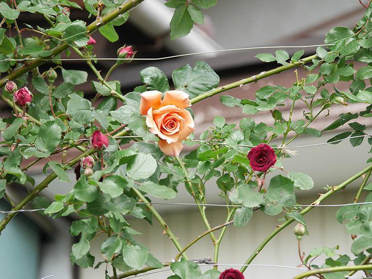 つるジュリア(Julia Climbing)の花が増えてきた。ツルバラ。2021年-072.jpg