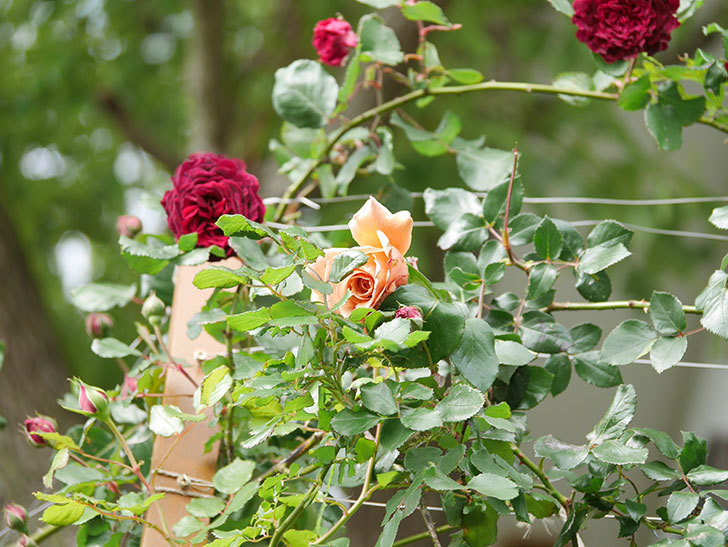 つるジュリア(Julia Climbing)の花が増えてきた。ツルバラ。2021年-075.jpg