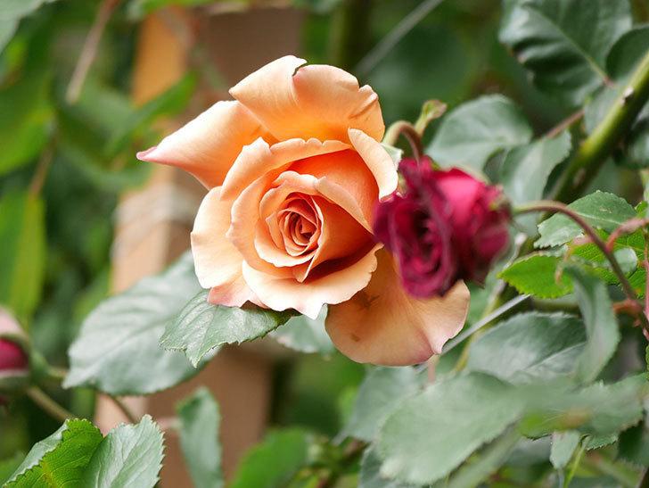 つるジュリア(Julia Climbing)の花が増えてきた。ツルバラ。2021年-076.jpg