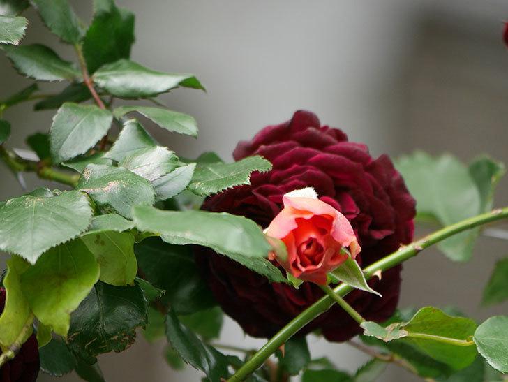 つるジュリア(Julia Climbing)の花が増えてきた。ツルバラ。2021年-079.jpg