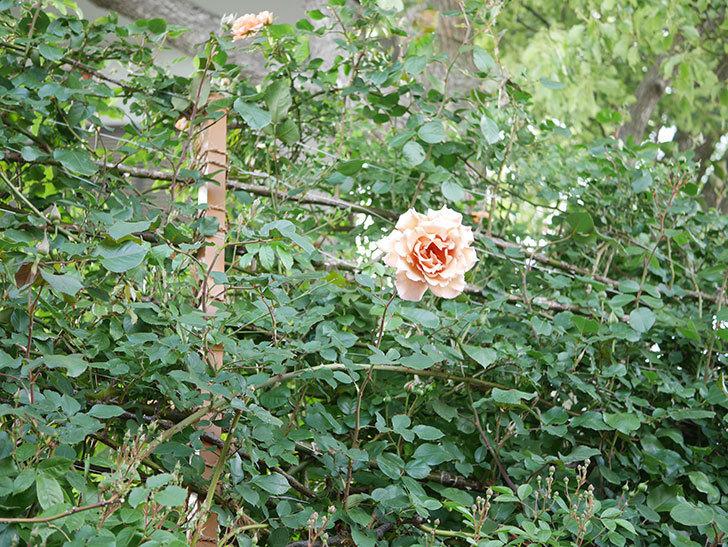 つるジュリア(Julia Climbing)の花が増えてきた。ツルバラ。2021年-081.jpg