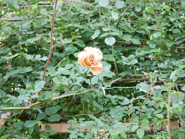 つるジュリア(Julia Climbing)の花が増えてきた。ツルバラ。2021年-082.jpg