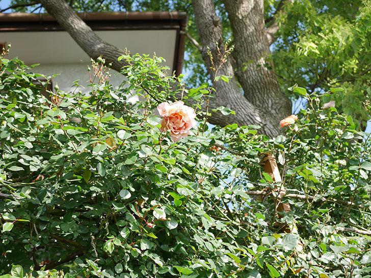 つるジュリア(Julia Climbing)の花が増えてきた。ツルバラ。2021年-084.jpg