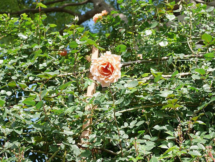 つるジュリア(Julia Climbing)の花が増えてきた。ツルバラ。2021年-085.jpg