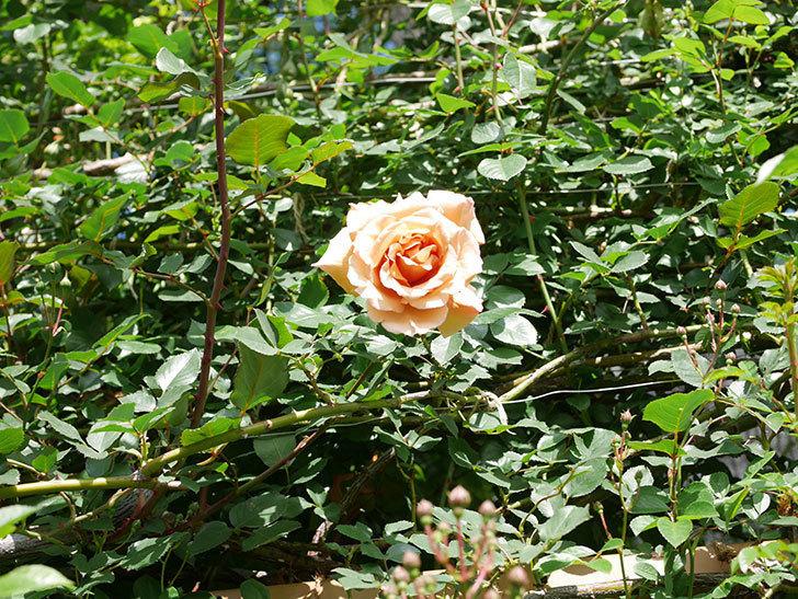 つるジュリア(Julia Climbing)の花が増えてきた。ツルバラ。2021年-086.jpg