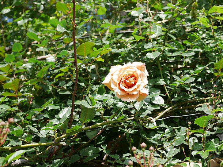 つるジュリア(Julia Climbing)の花が増えてきた。ツルバラ。2021年-087.jpg