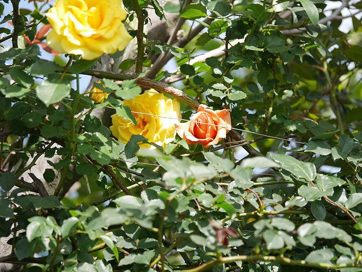 つるジュリア(Julia Climbing)の花が増えてきた。ツルバラ。2021年-088.jpg