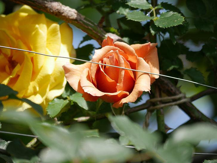 つるジュリア(Julia Climbing)の花が増えてきた。ツルバラ。2021年-089.jpg
