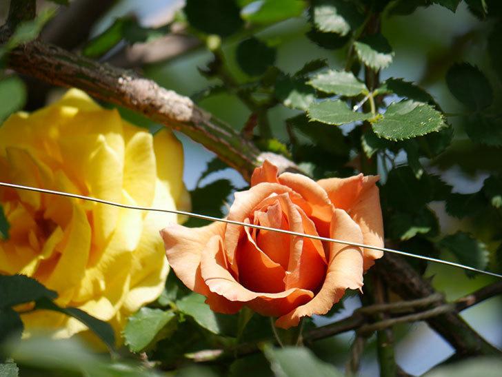 つるジュリア(Julia Climbing)の花が増えてきた。ツルバラ。2021年-090.jpg