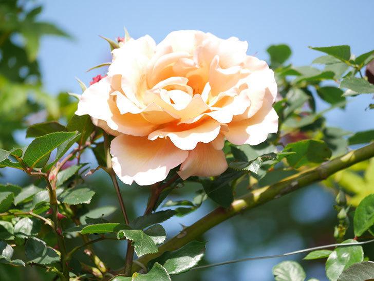 つるジュリア(Julia Climbing)の花が増えてきた。ツルバラ。2021年-091.jpg