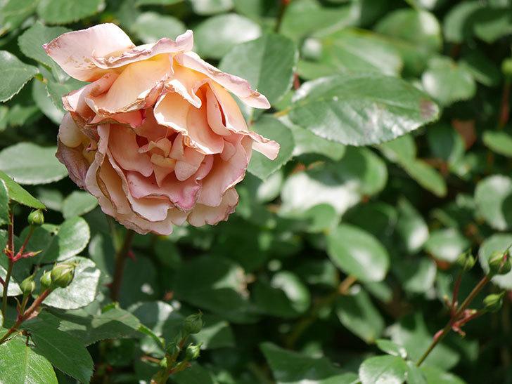 つるジュリア(Julia Climbing)の花が増えてきた。ツルバラ。2021年-092.jpg