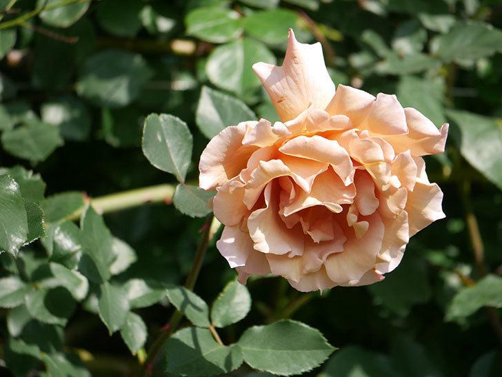つるジュリア(Julia Climbing)の花が増えてきた。ツルバラ。2021年-093.jpg