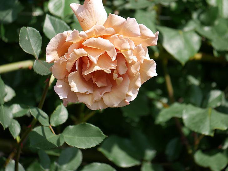 つるジュリア(Julia Climbing)の花が増えてきた。ツルバラ。2021年-094.jpg