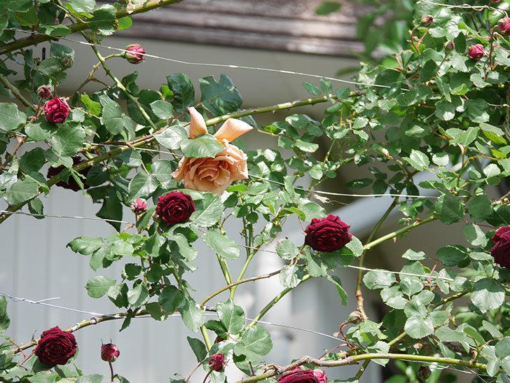 つるジュリア(Julia Climbing)の花が増えてきた。ツルバラ。2021年-095.jpg