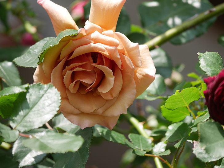つるジュリア(Julia Climbing)の花が増えてきた。ツルバラ。2021年-096.jpg