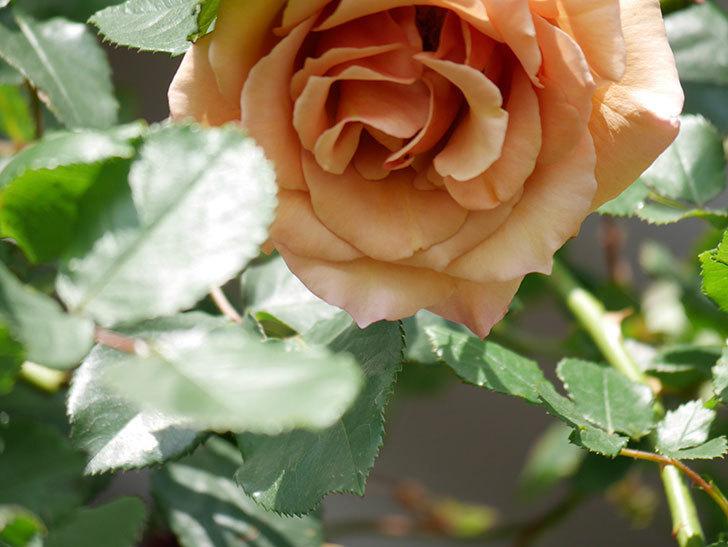 つるジュリア(Julia Climbing)の花が増えてきた。ツルバラ。2021年-097.jpg