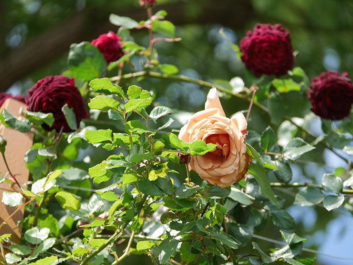 つるジュリア(Julia Climbing)の花が増えてきた。ツルバラ。2021年-098.jpg