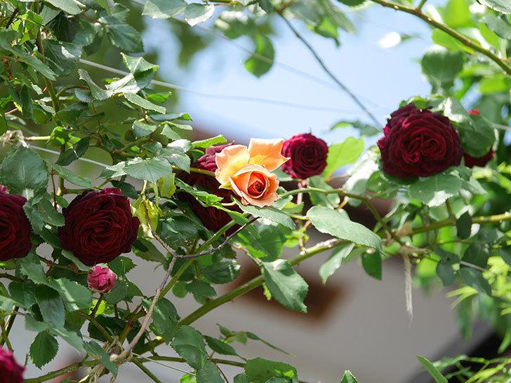 つるジュリア(Julia Climbing)の花が増えてきた。ツルバラ。2021年-099.jpg