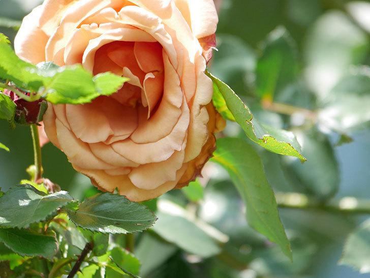 つるジュリア(Julia Climbing)の花が増えてきた。ツルバラ。2021年-101.jpg