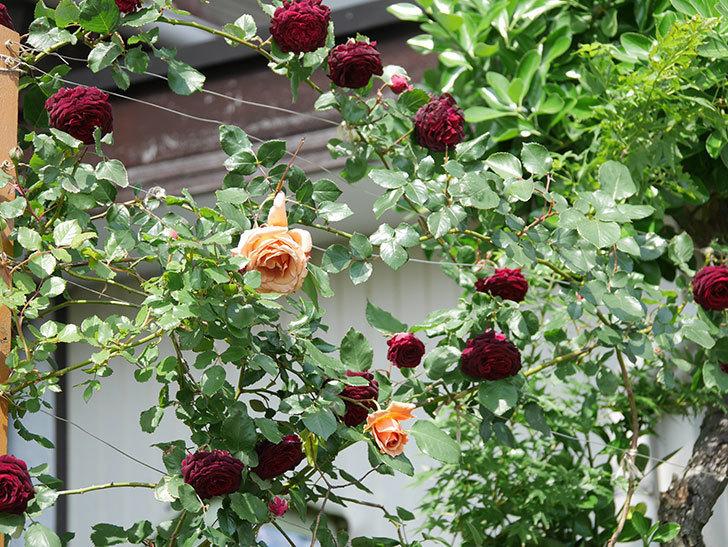 つるジュリア(Julia Climbing)の花が増えてきた。ツルバラ。2021年-102.jpg